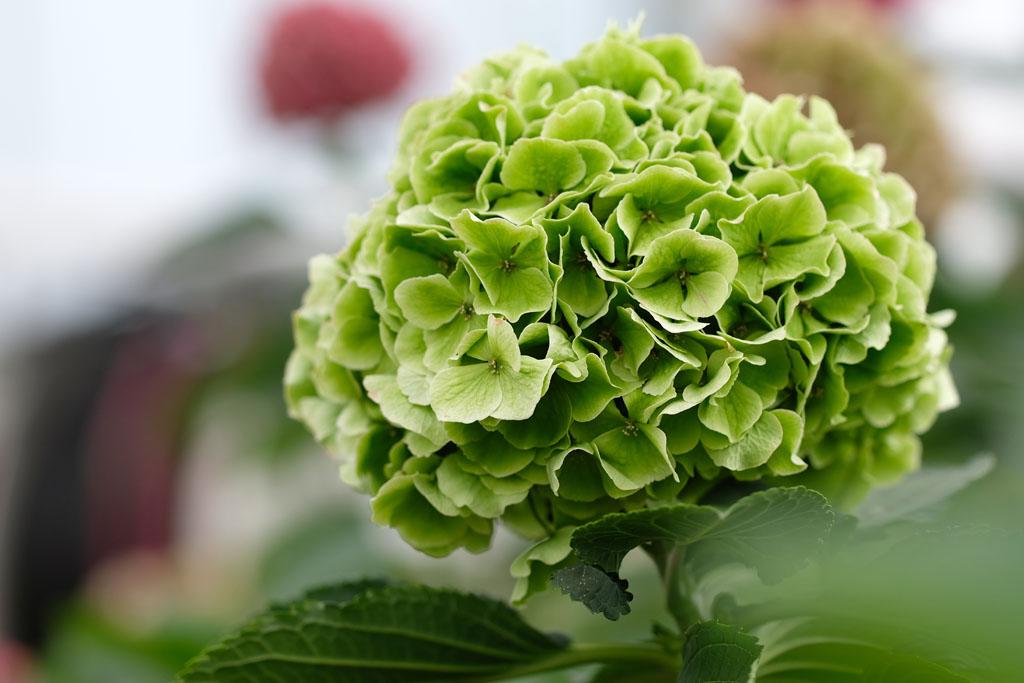 verena-classic-groen-3