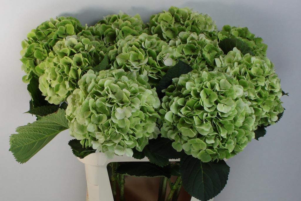 verena-classic-groen