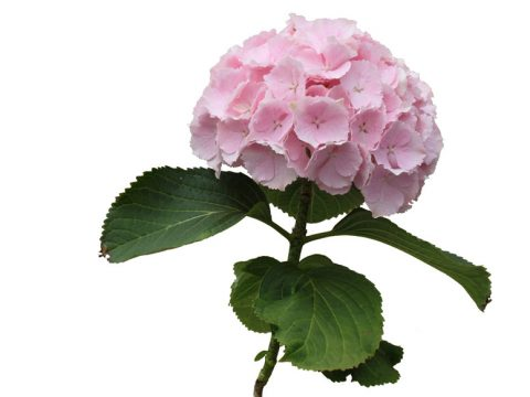 Impress Flowers Verena roze